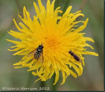 11-Perenial Sow Thistle