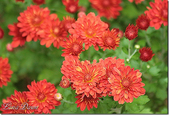 Chrysanthemums_Rusty3