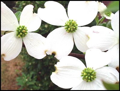 dogwood_flower
