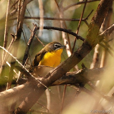12. yellow-breasted chat-kab