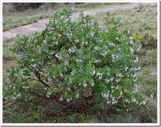 120211_UCSC_Arboretum_Arctostaphylos-viridissima-White-Cloud_01