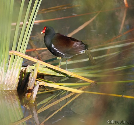 5. Common gallinule-kab