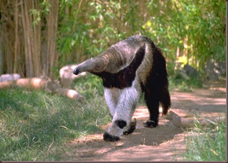 Amazing Animals Pictures Anteater (14)