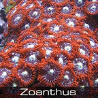 Zoanthus-fire-&-ice.jpg