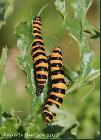 36-Cinnabar-caterpillars