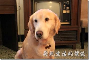 台南-小巷裡的拾壹號。擺出一副很無辜樣的「拿鐵」黃金獵犬。