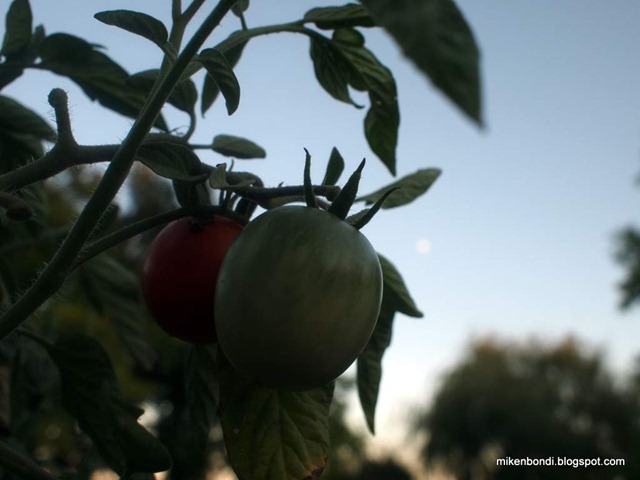 Tomato moon