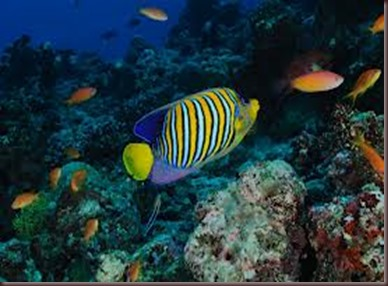 Amazing Pictures of Animals, photo Nature, exotic, funny, incredibel Zoo, Regal angelfish, Alex (2)