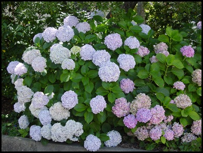 Bigleaf_Hydrangea