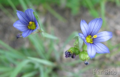 Blue eyed Grass close up