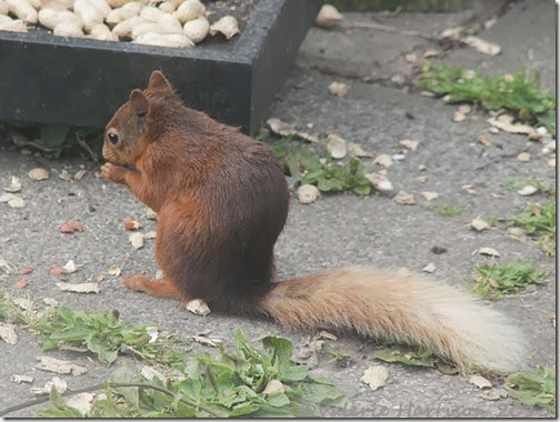 red-squirrel-1