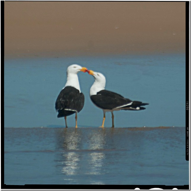 Kissing Gulls