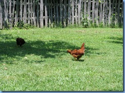 0410 North Carolina - Smoky Mountain National Park - US 441 (Newfound Gap Road) - Oconaluftee Visitor Center  - Mountain Farm Museum - hens