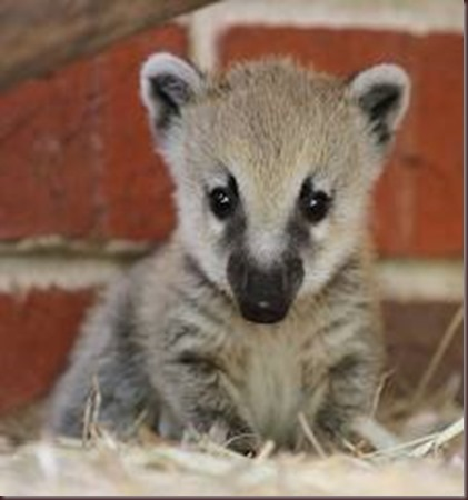 Amazing Pictures of Animals Coati Nasua. Alex (6)