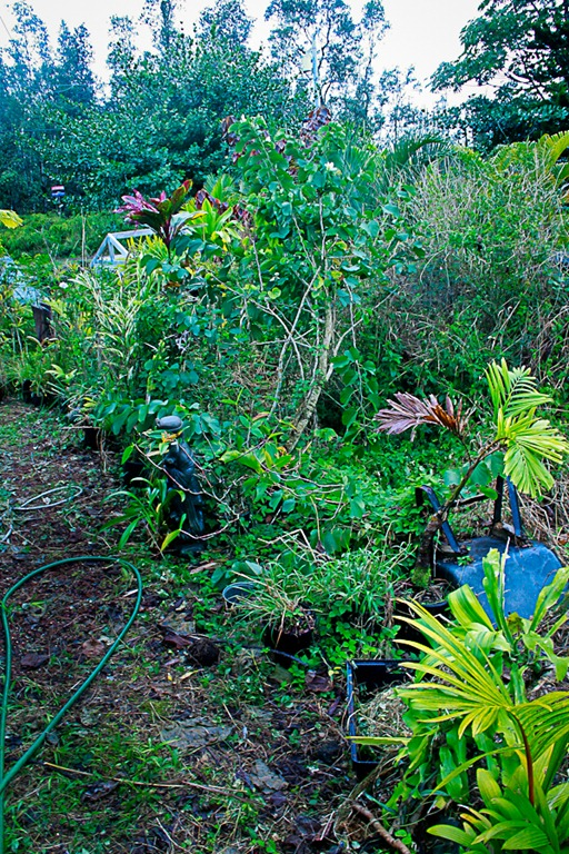 A plant fanatic in hawaii: side garden progress