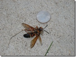 cicada killing wasps 006