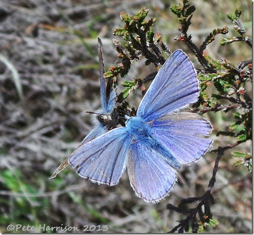 50-common-blue