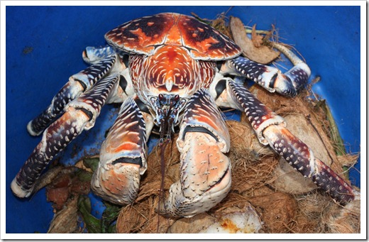 Big coconut crab with coconuts
