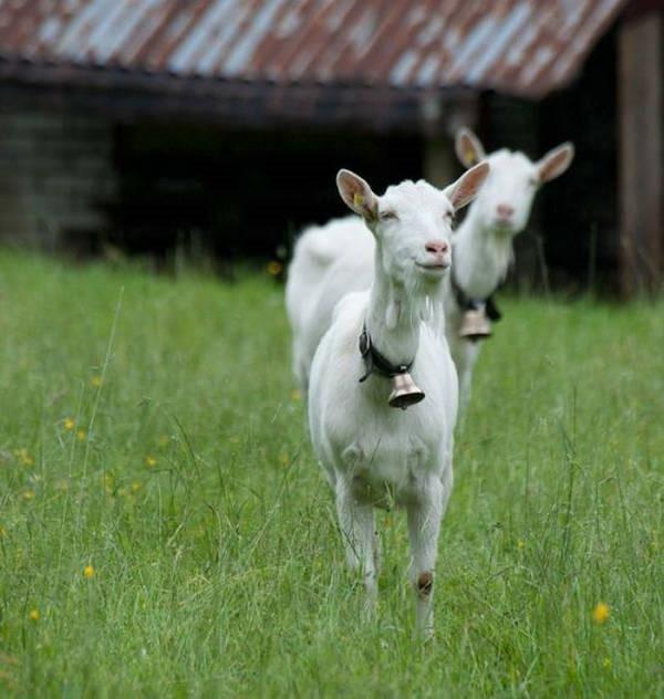 6- O leite de cabra