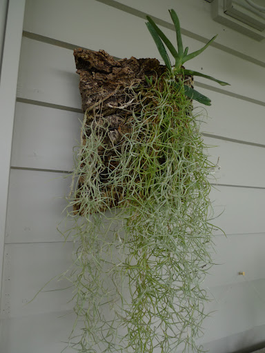 Look Sharkey, this Spanish moss has been put back on the wall, as well.  Like the staghorn fern, it is an epiphyte, or an air plant, meaning it grows attached to other plants or objects.