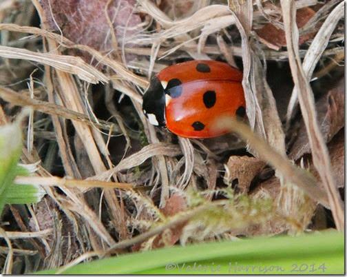 7-spot-ladybird