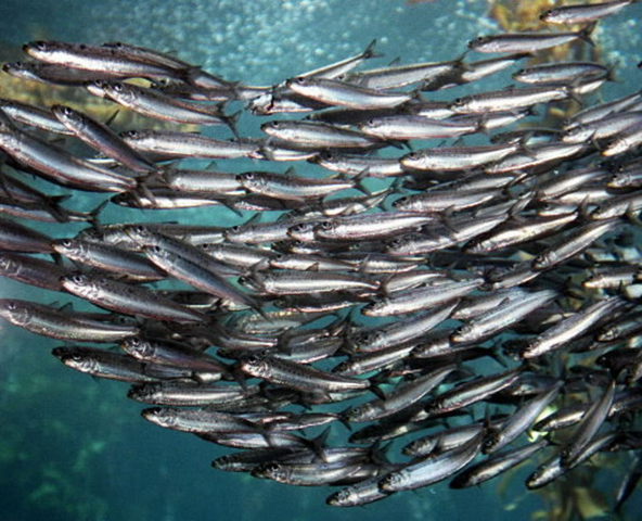 A school of sardines swims in one of the aquariums at the Monterey Bay Aquarium, in Monterey, California. Pacific coast sardines are facing a population collapse so severe that Oregon's multimillion-dollar sardine industry was shut down in summer 2015. Photo: Kelly House / The Oregonian