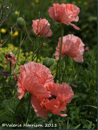 15 poppies