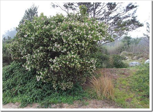 120211_UCSC_Arboretum_Arctostaphylos-montaraensis_04
