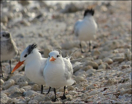 Honeymoon Island terns