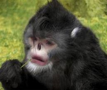 Amazing Pictures of Animals, photo, Nature, exotic, funny, incredibel, Zoo, Myanmar snub-nosed monkey, Alex (2)