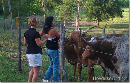 Sharon feeding the longhorns with Carol