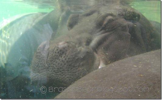 zoo-hippo