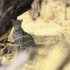 Leopard im Moremi Wildreservat, Botswana © Foto: Bruce Taylor | Sunway Safaris