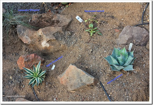 131007_driveway_succulent_bed_after_03