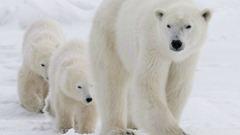 EU Polar Bears 20130210