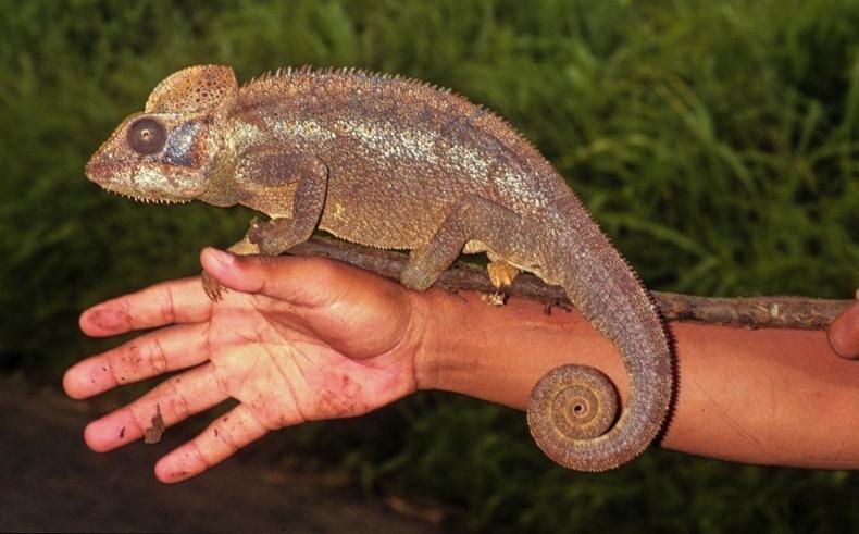 tiny-chameleon-4