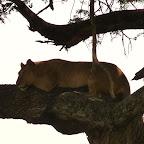 Löwe im Baum © Foto: Ulrike Pârvu | Outback Africa Erlebnisreisen