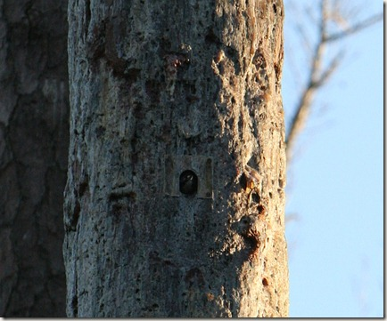 Red-cockaded Woodpecker, palmetto-peartree preserve, nest cavity