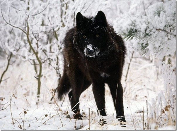 Lobos (11)