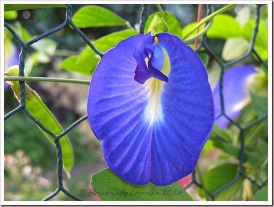 09-27-blue-pea-vine