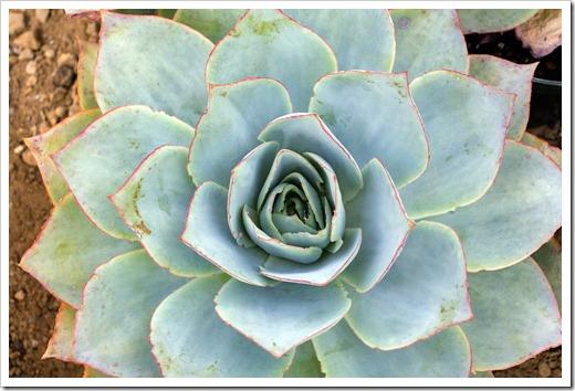 120929_SucculentGardens_Echeveria-subrigida04