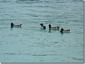 Montrose Harbour ducks