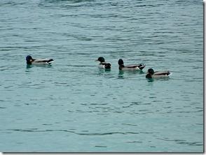 Montrose Harbour ducks