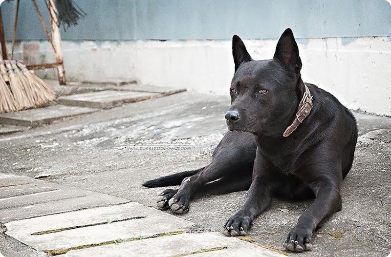 Black-dog-(1)