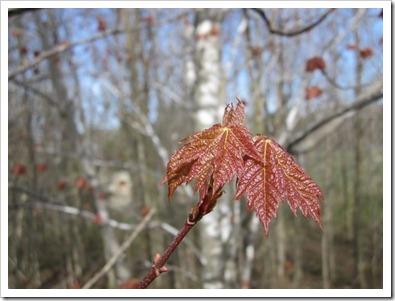 20120430_spring-leaves_001