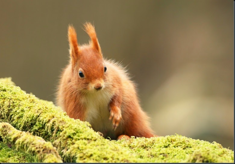 Red Squirrel bed of moss