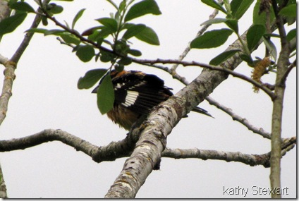 Black-headed Grosbeak after a bath
