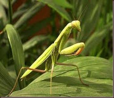 Amazing Pictures of Animals photo Nature exotic funny incredibel Zoo Mantis Arthropodo Insect. Alex (4)