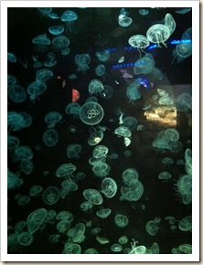 moon jelly fish