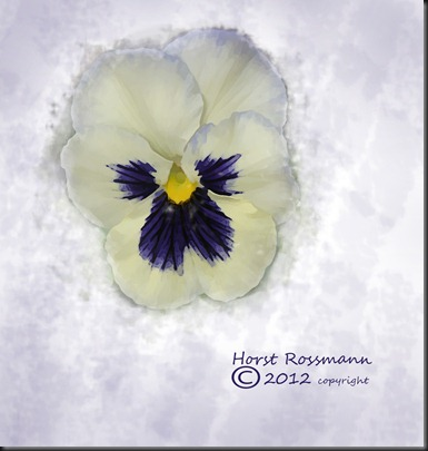 Pansy on White copy